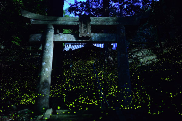 fireflies in china